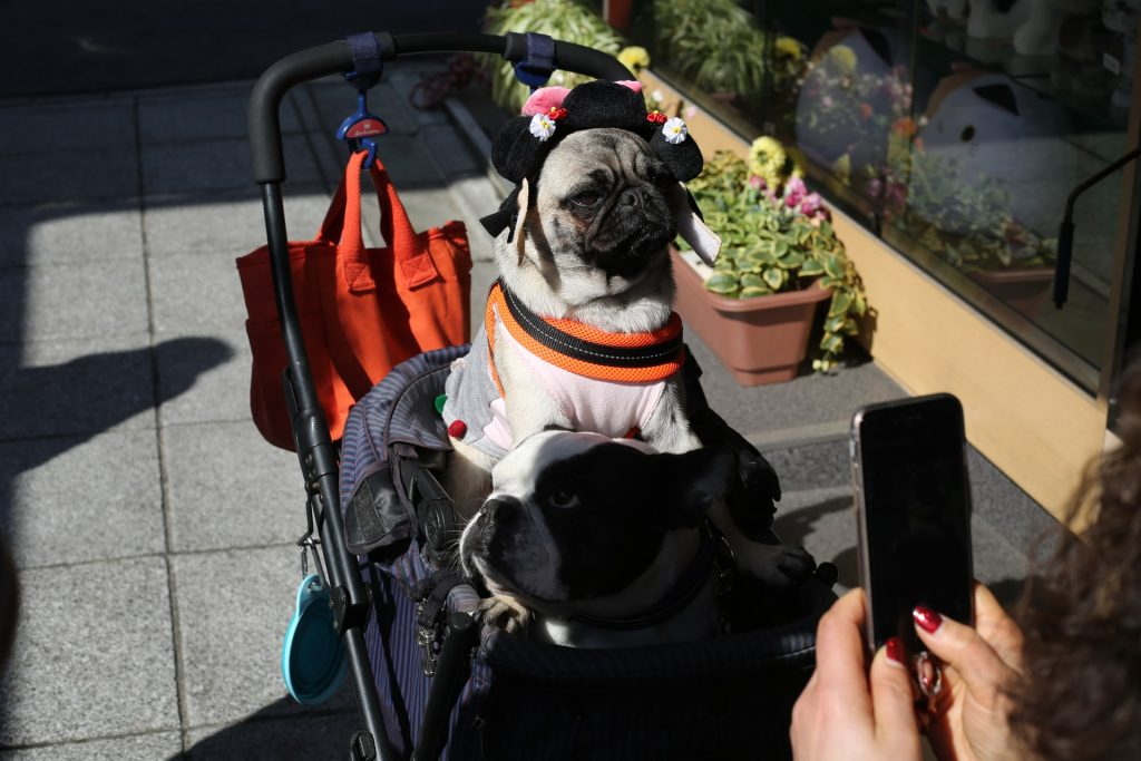 pug with hat in stroller